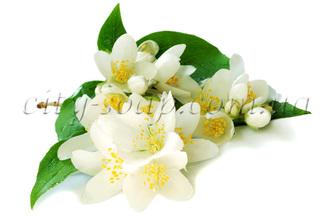 Лечебные, косметические свойства эфирных масел.  Jasmin%28ready%29.330x330