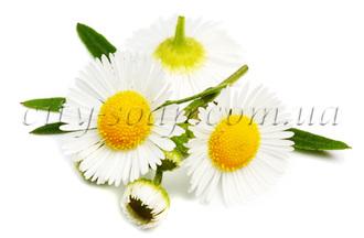 Масло ромашки (рафинированное): жидкие базовые масла - 1 | city-soap.com.ua