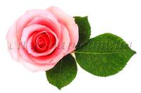 Отдушка Роза болгарская
