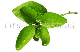 Лечебные, косметические свойства эфирных масел.  Tea_tree%28ready%29.330x330