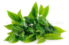 СО2 экстракты СО2 экстракт Зеленого чая - 5 | city-soap.com.ua